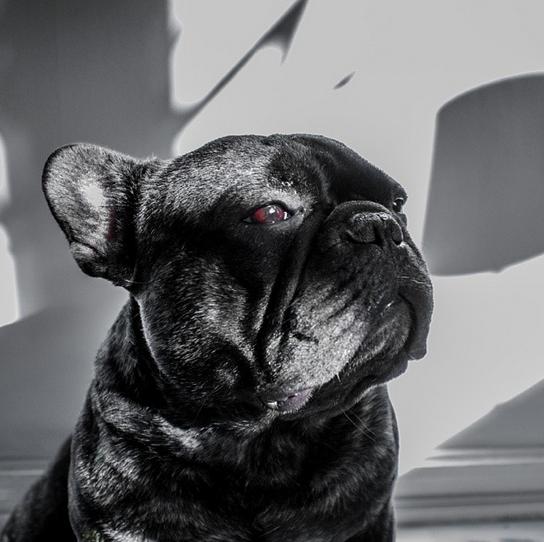bossthefrenchbulldog on Instagram